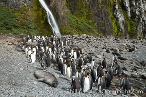 King penguins gather in a steam to molt, below a waterfall on a cobblestone beach at Hercules Bay. Hercules Bay, South Georgia Island, Aptenodytes patagonicus, natural history stock photograph, photo id 24474