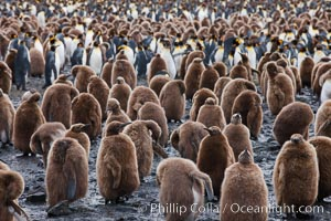 Oakum boys, juvenile king penguins at Salisbury Plain, South Georgia Island.  Named 'oakum boys' by sailors for the resemblance of their brown fluffy plumage to the color of oakum used to caulk timbers on sailing ships, these year-old penguins will soon shed their fluffy brown plumage and adopt the colors of an adult, Aptenodytes patagonicus