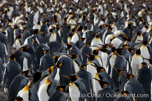 King penguin colony at Salisbury Plain, Bay of Isles, South Georgia Island.  Over 100,000 pairs of king penguins nest here, laying eggs in December and February, then alternating roles between foraging for food and caring for the egg or chick, Aptenodytes patagonicus