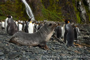 Antarctic fur seal pup in front of a group of molting king penguins, below a waterfall on the cobblestone beach at Hercules Bay, Aptenodytes patagonicus