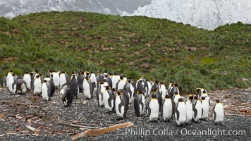 King penguins and whale bones, on the cobblestone beach at Godthul, South Georgia Island.  The whale bones are evidence of South Georgia&#39;s long and prolific history of whaling, Aptenodytes patagonicus