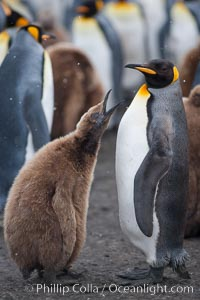 Juvenile 'oakum boy' penguin begs for food, which the adult will regurgitate from its stomach after foraging at sea.  This scene plays out thousands of times each hour amid the vast king penguin colony at Salisbury Plain, where over 100,000 pairs of king penguins nest and rear their chicks, Aptenodytes patagonicus