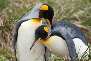 King penguin, mated pair courting, displaying courtship behavior including mutual preening, Aptenodytes patagonicus, Salisbury Plain