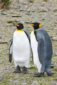 King penguins at Salisbury Plain, Bay of Isles, South Georgia Island.  Hundreds of thousands of pairs of king penguins nest here, laying eggs in December and February, then alternating roles between foraging for food and caring for the egg or chick, Aptenodytes patagonicus