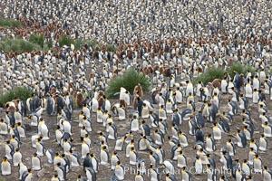 King penguins at Salisbury Plain, Aptenodytes patagonicus