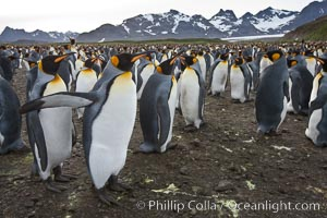 Image 24388, King penguin colony. Over 100,000 pairs of king penguins nest at Salisbury Plain, laying eggs in December and February, then alternating roles between foraging for food and caring for the egg or chick. Salisbury Plain, South Georgia Island, Aptenodytes patagonicus