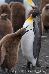 Juvenile 'oakum boy' penguin begs for food, which the adult will regurgitate from its stomach after foraging at sea.  This scene plays out thousands of times each hour amid the vast king penguin colony at Salisbury Plain, where over 100,000 pairs of king penguins nest and rear their chicks. Salisbury Plain, South Georgia Island, Aptenodytes patagonicus, natural history stock photograph, photo id 24395