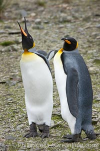 King penguin, mated pair courting, displaying courtship behavior, Aptenodytes patagonicus, Salisbury Plain
