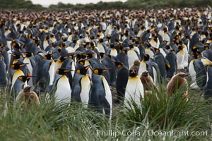 Image 24407, King penguin colony. Over 100,000 pairs of king penguins nest at Salisbury Plain, laying eggs in December and February, then alternating roles between foraging for food and caring for the egg or chick. Salisbury Plain, South Georgia Island, Aptenodytes patagonicus, Phillip Colla, all rights reserved worldwide. Keywords: animal, animalia, aptenodytes, aptenodytes patagonicus, atlantic, aves, bay of isles, bird, chordata, king penguin, oceans, patagonicus, penguin, salisbury plain, sea bird, seabird, south georgia island, spheniscidae, sphenisciformes, united kingdom, vertebrata, vertebrate, wildlife.