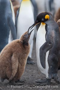Juvenile 'oakum boy' penguin begs for food, which the adult will regurgitate from its stomach after foraging at sea.  This scene plays out thousands of times each hour amid the vast king penguin colony at Salisbury Plain, where over 100,000 pairs of king penguins nest and rear their chicks. Salisbury Plain, South Georgia Island, Aptenodytes patagonicus, natural history stock photograph, photo id 24432