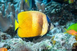 Kleins Butterflyfish, Chaetodon kleinii, Fiji, Chaetodon kleinii, Namena Marine Reserve, Namena Island
