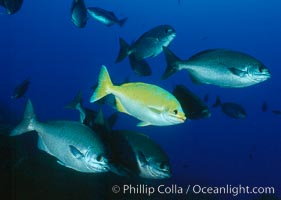 Cortez chubb showing golden phase mating male, Kyphosus elegans, Guadalupe Island (Isla Guadalupe)
