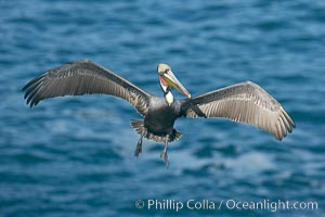 Brown pelican spreads its huge wings to slow before landing on seaside cliffs, Pelecanus occidentalis, Pelecanus occidentalis californicus, La Jolla, California