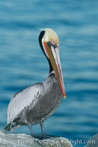 California brown pelican portrait, on sandstone cliffs above the ocean, showing winter breeding plumage with dark brown nape, red throat and yellow head.  Lit with flash, early morning before sunrise. La Jolla, California, USA, Pelecanus occidentalis, Pelecanus occidentalis californicus, natural history stock photograph, photo id 20191
