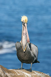 California brown pelican portrait with open mouth showing inside of throat pouch, on sandstone cliffs above the ocean, Pelecanus occidentalis, Pelecanus occidentalis californicus, La Jolla