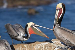 Brown pelicans sparring with beaks, winter plumage, showing bright red gular pouch and dark brown hindneck plumage of breeding adults. La Jolla, California, USA, Pelecanus occidentalis, Pelecanus occidentalis californicus, natural history stock photograph, photo id 20195