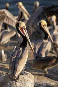 Brown pelicans, many in winter breeding plumage, crowd cliffs above the ocean to rest, preen and dry themselves in the sun, Pelecanus occidentalis, Pelecanus occidentalis californicus, La Jolla, California