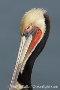 Brown pelican portrait, displaying winter breeding plumage with distinctive dark brown nape, yellow head feathers and red gular throat pouch, Pelecanus occidentalis, Pelecanus occidentalis californicus, La Jolla, California