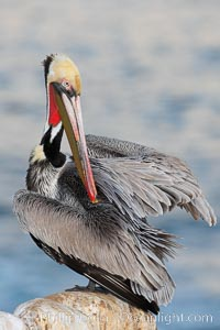 A brown pelican preening, reaching with its beak to the uropygial gland (preen gland) near the base of its tail.  Preen oil from the uropygial gland is spread by the pelican's beak and back of its head to all other feathers on the pelican, helping to keep them water resistant and dry. La Jolla, California, USA, Pelecanus occidentalis, Pelecanus occidentalis californicus, natural history stock photograph, photo id 18124