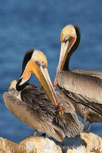 A brown pelican preening, reaching with its beak to the uropygial gland (preen gland) near the base of its tail.  Preen oil from the uropygial gland is spread by the pelican's beak and back of its head to all other feathers on the pelican, helping to keep them water resistant and dry, Pelecanus occidentalis, Pelecanus occidentalis californicus, La Jolla, California