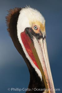 Brown pelican, winter adult breeding plumage.   In winter months, breeding pelicans assume a dramatic plumage with brown neck, yellow and white head and bright red gular throat pouch, Pelecanus occidentalis, Pelecanus occidentalis californicus, La Jolla, California