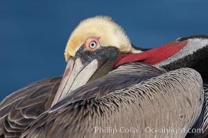 Brown pelican, resting, Pelecanus occidentalis, Pelecanus occidentalis californicus, La Jolla, California
