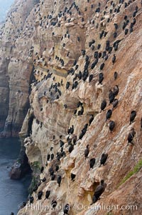Cormorant rest on sandstone seacliffs above the ocean.  Likely Brandts and double-crested cormorants, Phalacrocorax, La Jolla, California
