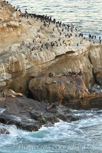 Sea lions, cormorants, gulls and pelicans rest on a sandstone rock above the ocean, La Jolla, California
