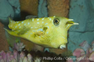 Longhorn cowfish., Lactoria cornuta, natural history stock photograph, photo id 07836