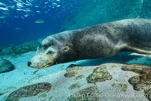 Large adult male California sea lion underwater, Sea of Cortez, Mexico, Zalophus californianus