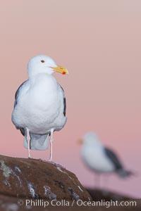 Western gull, pre-sunrise. La Jolla, California, USA, Larus occidentalis, natural history stock photograph, photo id 26293