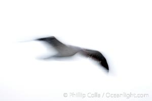 Western gull in flight, blur, Larus occidentalis, La Jolla, California