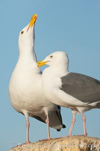 Western gulls, courtship behaviour, Larus occidentalis, La Jolla, California