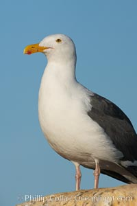 Western gull on sandstone cliffs, Larus occidentalis, La Jolla, California