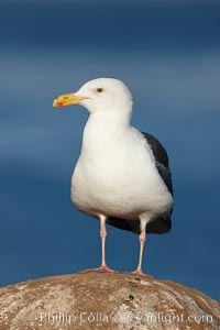 Western gull, flying. La Jolla, California, USA, Larus occidentalis, natural history stock photograph, photo id 22174