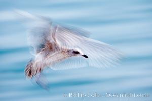 Juvenile gull, blurred as it slows to land, Larus, La Jolla, California
