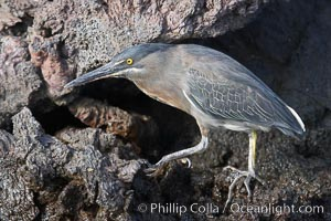 Lava heron on volcanic rocks at the oceans edge, Punta Albemarle, Butorides sundevalli, Isabella Island