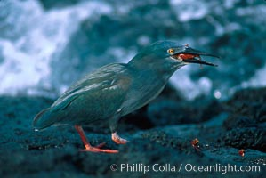 Lava heron captures Sally lightfoot crab at oceans edge, Butorides sundevalli
