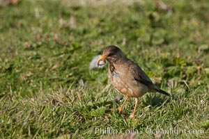 LBB (little brown bird), unidentified, eating some kind of worm. Carcass Island, Falkland Islands, United Kingdom, natural history stock photograph, photo id 24029