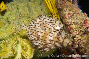 Leafy filefish, Chaetoderma penicilligera