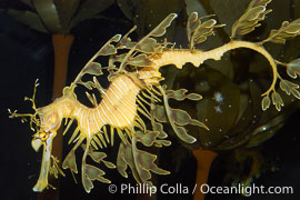 Leafy Seadragon., Phycodurus eques, natural history stock photograph, photo id 07824