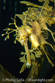 Leafy Seadragon., Phycodurus eques, natural history stock photograph, photo id 07822