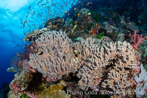 Leather coral, Sinularia sp, Fiji, Sinularia, Bligh Waters