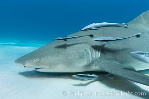 Lemon shark with live sharksuckers. Bahamas, Negaprion brevirostris, Echeneis naucrates, natural history stock photograph, photo id 10752