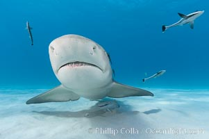 Lemon shark with live sharksuckers. Bahamas, Negaprion brevirostris, Echeneis naucrates, natural history stock photograph, photo id 10756