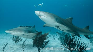 Lemon shark. Bahamas, Negaprion brevirostris, natural history stock photograph, photo id 32018