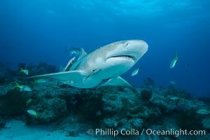 Lemon shark. Bahamas, Negaprion brevirostris, natural history stock photograph, photo id 32022