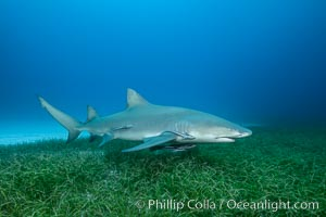 Lemon shark. Bahamas, Negaprion brevirostris, natural history stock photograph, photo id 32024