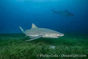 Lemon shark. Bahamas, Negaprion brevirostris, natural history stock photograph, photo id 32025