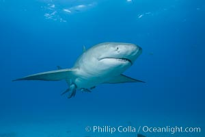 Lemon shark. Bahamas, Negaprion brevirostris, natural history stock photograph, photo id 32027
